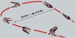 Over het algemeen vliegen valken tegen de wind in schuin omhoog steeds hoger, en hoger en draait (voor de zon langs) en duikt naar beneden op zijn prooi af,  en stoot